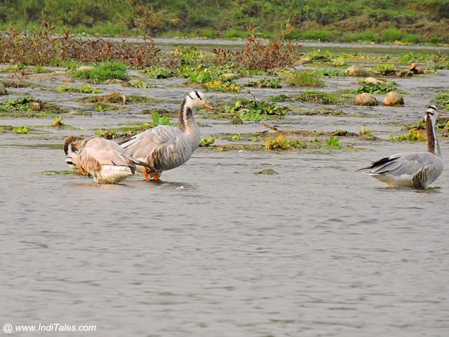 Bar-headed Goose by Rapti river