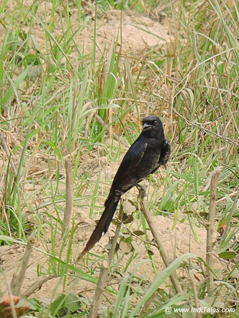 Black Drongo bird