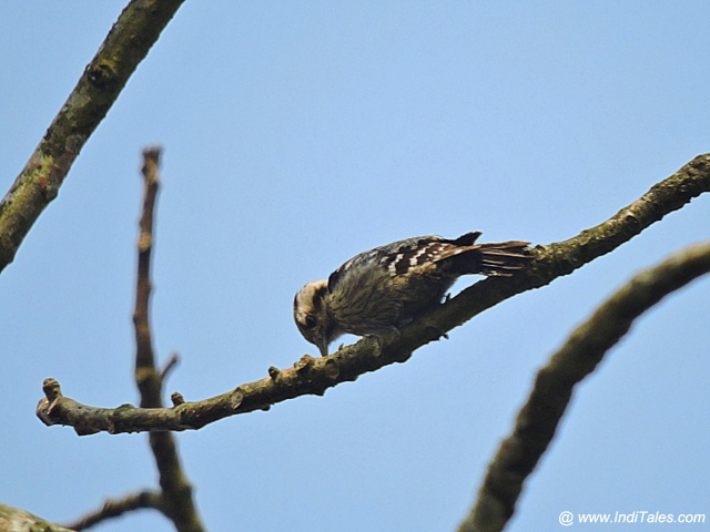Brown-capped Pygmy Woodpecker bird - Birds of Chitwan National Park