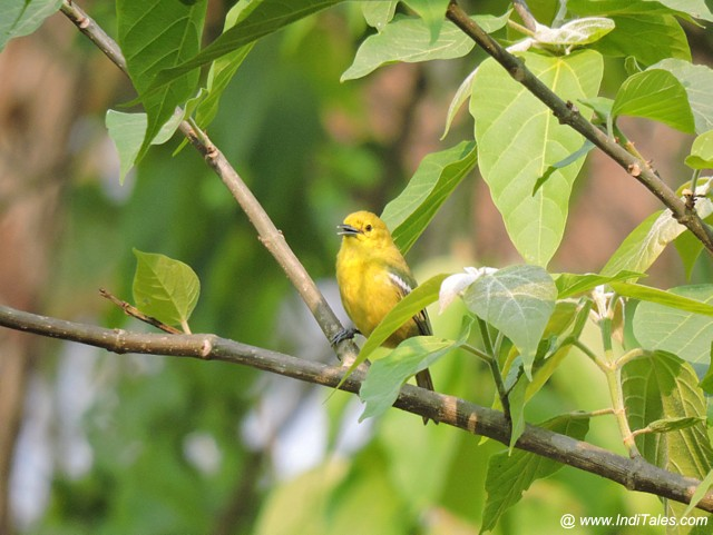 Common Iora at Barahi Jungle Lodge