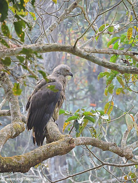 Grey-headed Fish Eagle at Chitwan National Park, Nepal
