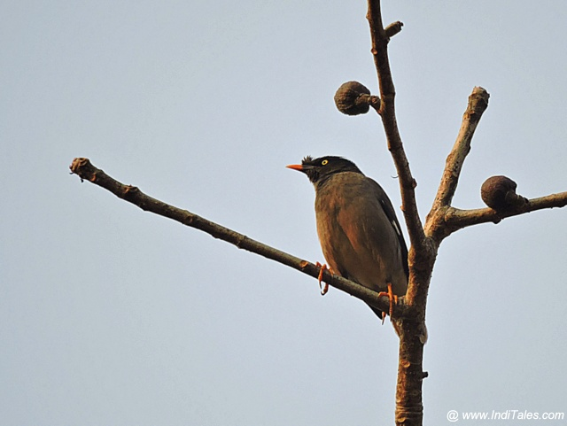 Jungle Myna bird