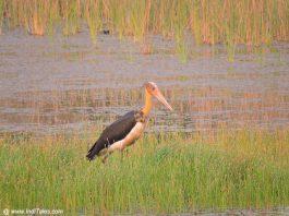 Lesser-adjutant Stork at Chitwan National Park, Nepal