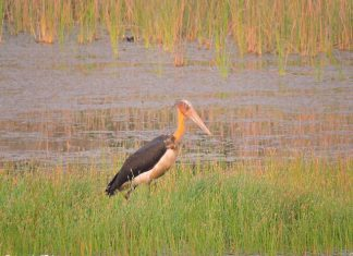 Lesser-adjutant Stork at Chitwan National Park, Nepal