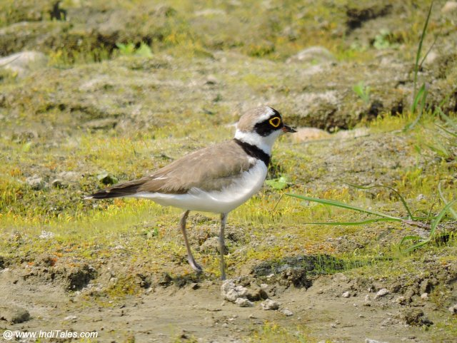 Little-ringed Plover by Riu river