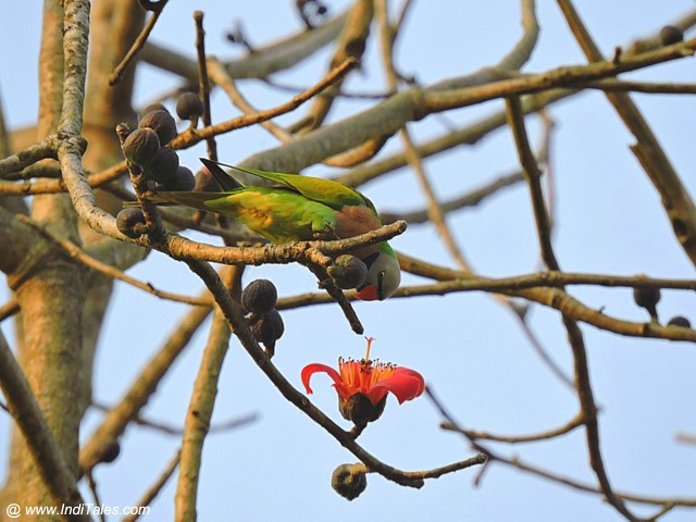 Red-breasted Parakeet bird at Chitwan National Park