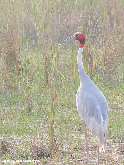 Saras Crane bird - Birds of Chitwan National Park