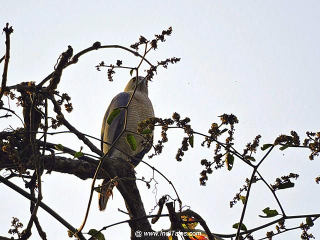 Shikra bird