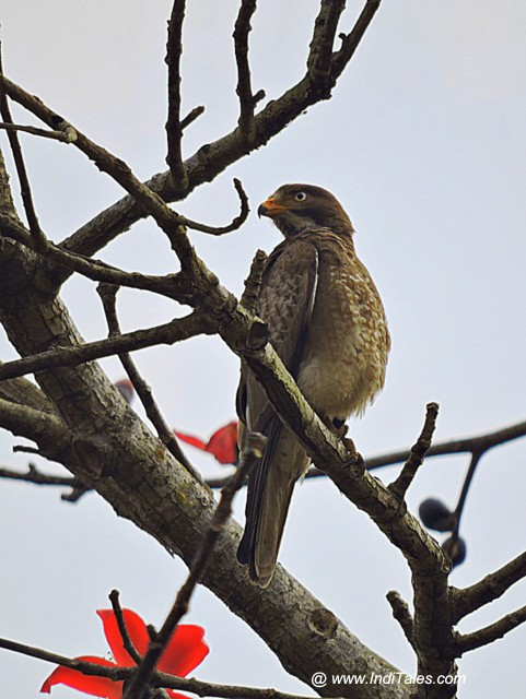 White-eyed Buzzard bird - Birds of Chitwan National Park