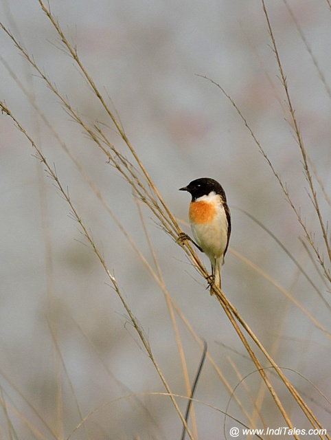 White-tailed Stonechat bird