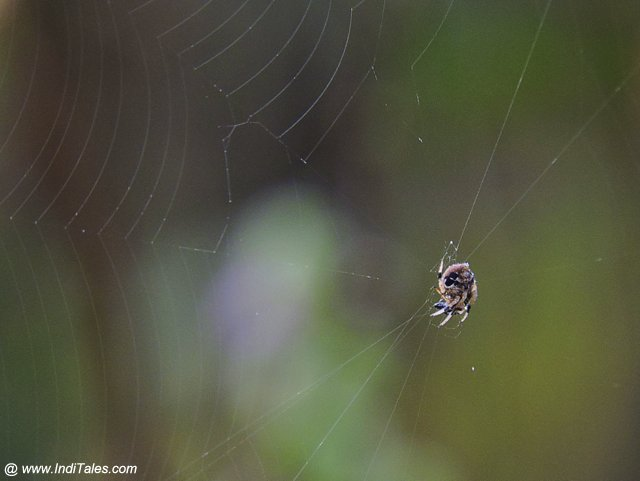 Spider - Chitwan National Park - Nepal