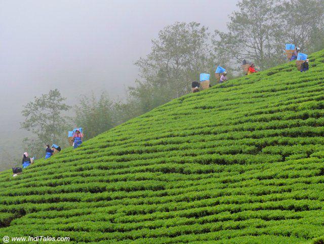 Darjeeling Tea - Kolkata Souvenirs