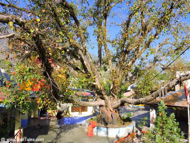 Giant Banyan tree at Bhimeshwar Mahadev temple by Bhimtal