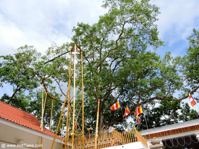 Sri Maha Bodhi Tree - Anuradhapura