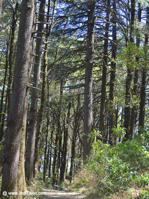 Tall Deodar trees forest