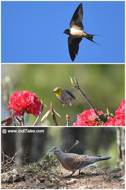 Barn Swallow in flight, Oriental White-eye in flight, and Turtle Dove