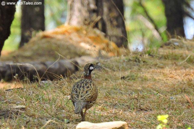Black Francolin bird at Binsar - Birding in Kumaon