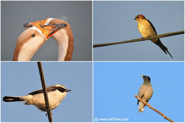 Grey Bushchat, Ducks, Striated Swallow, Jungle Myna