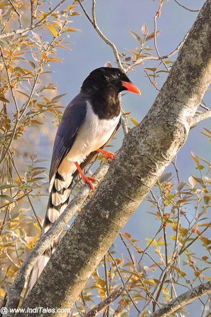 Red-billed Blue Magpie at Bhimtal