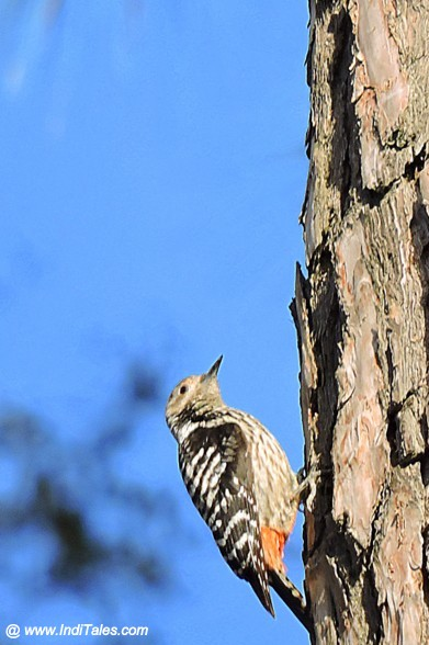 Rufous-bellied Woodpecker at Mukteshwar - Birding in Kumaon