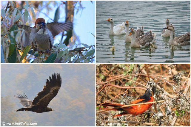 Steppe Eagle, Russet Sparrows, Ducks, and Scarlet Minivet birds