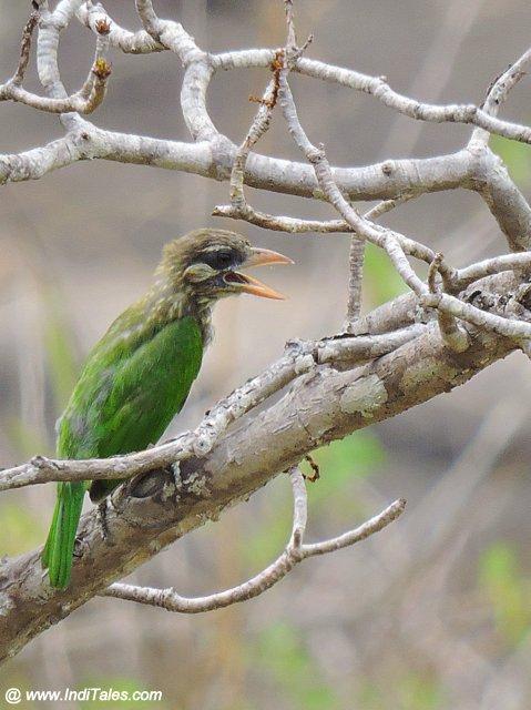 Brown-headed Barbet bird at Karkala