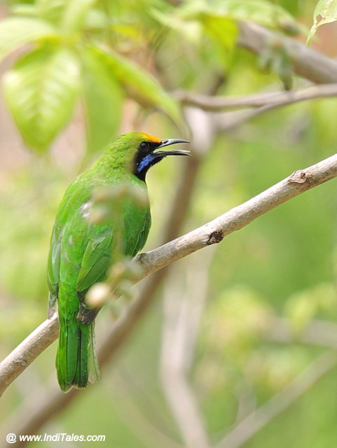 Jerdon's Leafbird at Karkala