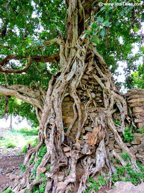 Banyan Trees growing around ruins