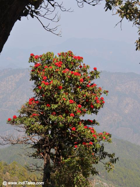 Rhododendron Tree at Binsar