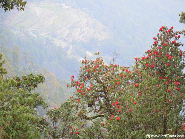 Rhododendron flower tree in the backdrop of Binsar Valley