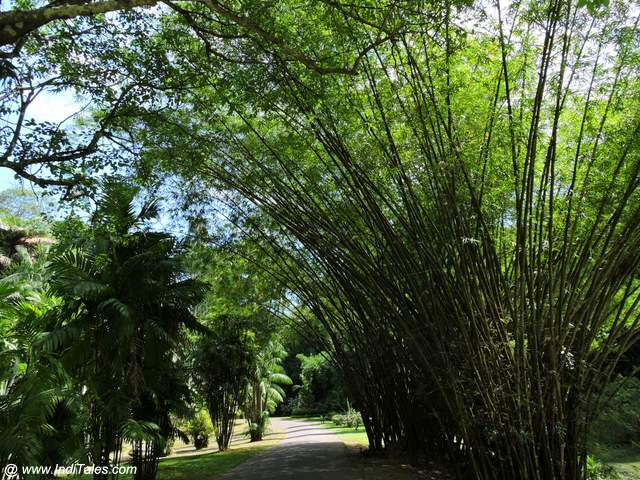 Bamboo Trees at Royal Botanical Gardens