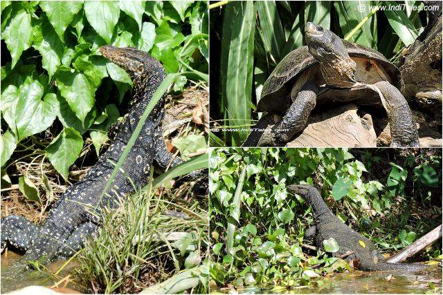 Water Monitor & Turtle on Mahaweli River