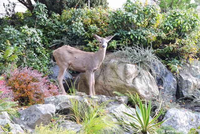 Deer at Government Gardens - Victoria BC
