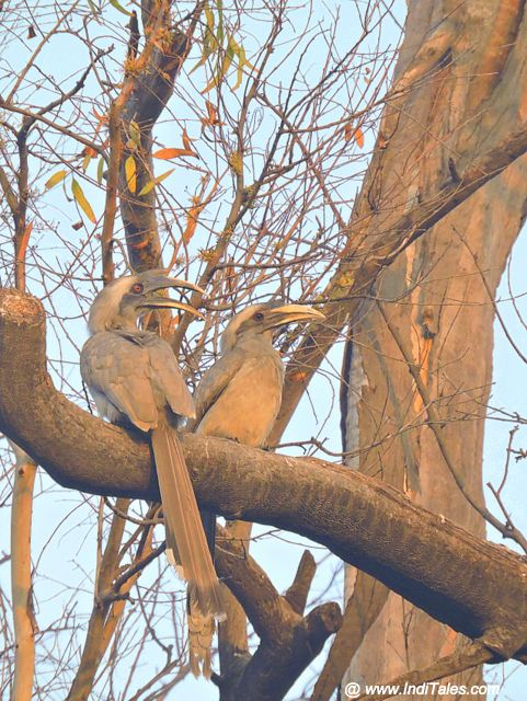 Grey Hornbills in the gardens of The Baradari Palace - Patiala