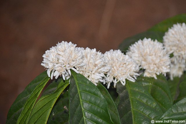 Coffee flowers in bloom