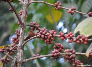Coffee Beans at Coffee Plantation in Coorg