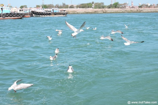 Seagulls that fly with you from Dwarka to Beyt Dwarka