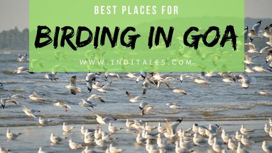 Flock of migratory Seagulls at beach, Goa
