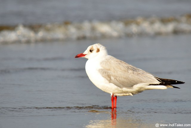 Brown-headed Gull at a beach, migratory birds of Goa
