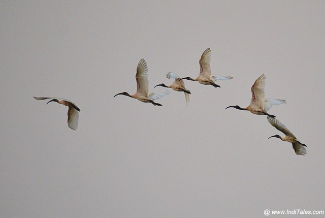 A flock of Black-headed Ibis in flight, Birding in Goa