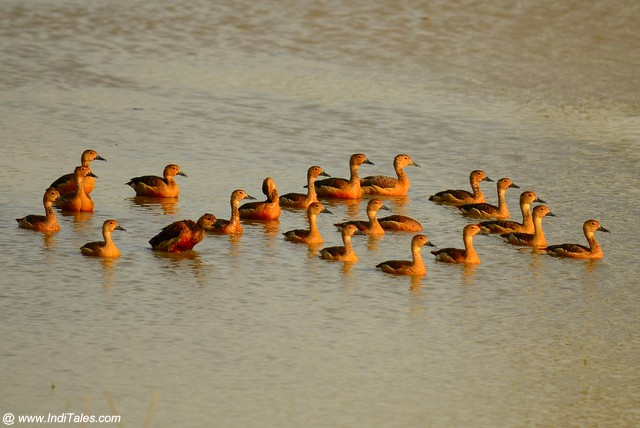 A flock of Lesser Whistling Ducks