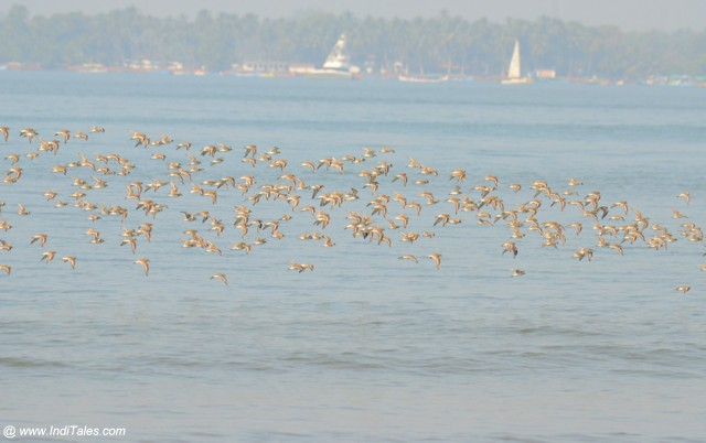A flock of Sandplovers in flight, Miramar beach
