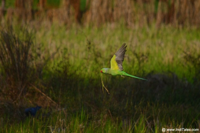 Rose-ringed Parakeet in flight