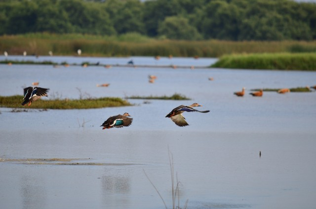 Ruddy Shelducks in flight