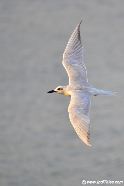 Slender-billed Gull in flight over Mandovi river backwaters