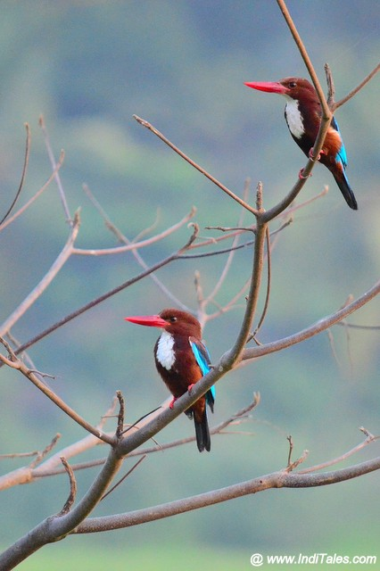 A pair of White-throated Kingfishers, Birding in Goa
