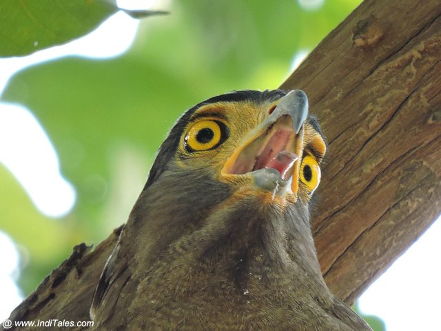 Crested Serpent Eagle - Rajaji National Park