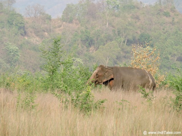 Elephants in Tall Grass at Chilla Range of Rajaji National Park