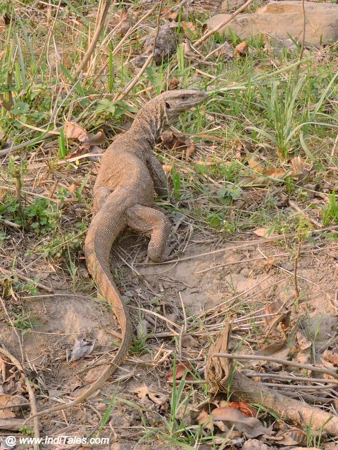 Monitor Lizards - Rajaji National Park