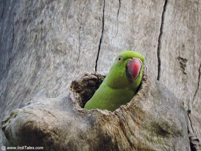 Rose Ringed Parakeet - Rajaji National Park